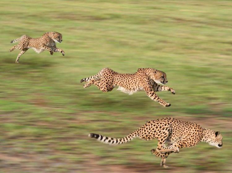 Rennende Geparden