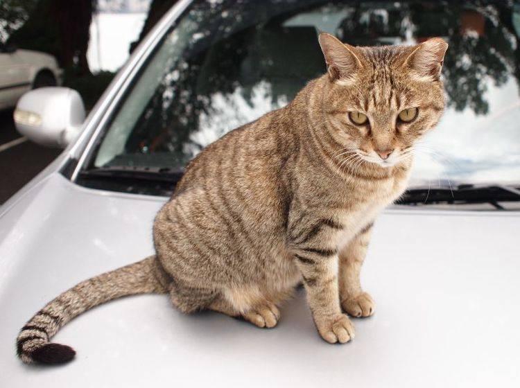 Katze Autofahren