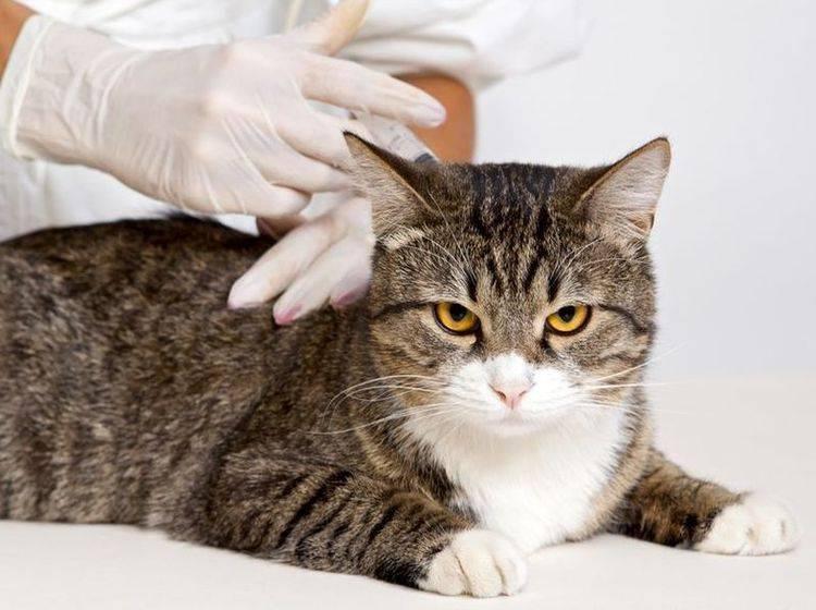 Getigerte Katze beim Tierarzt