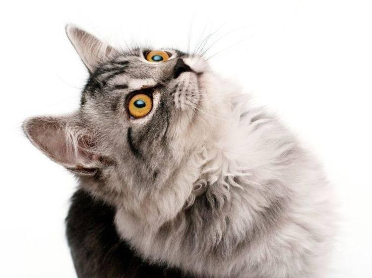 Graue Katze bettelt
