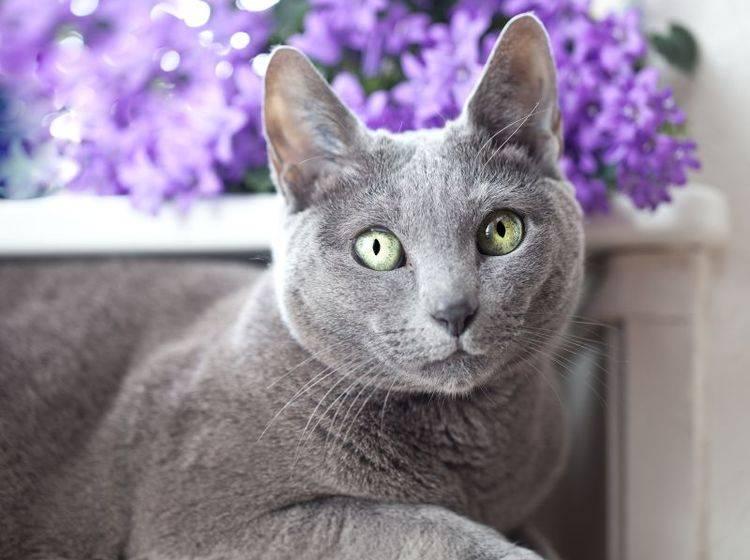 Graue Katze vor lilanen Blumen