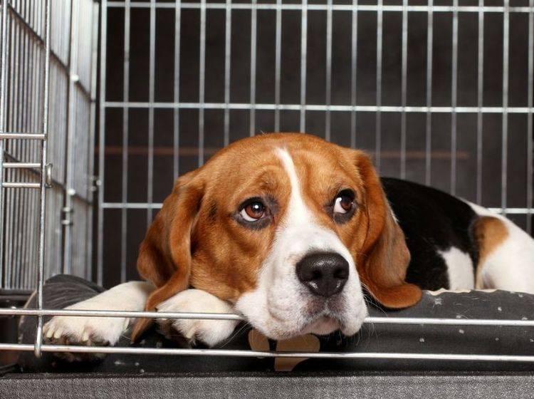 Beagle Hund im Zwinger