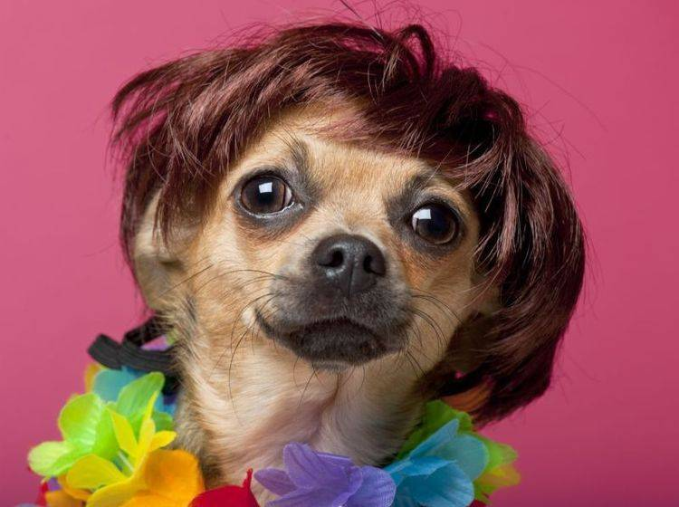 Kleiner Chihuahua mit Hundeperücke