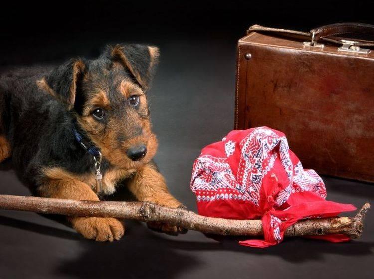 Terrier Hund Gepäck