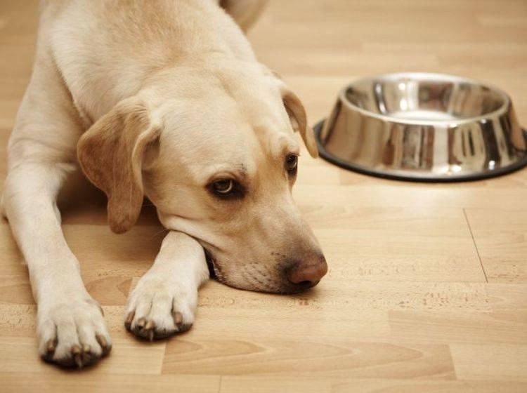 Retriever Hund frisst nicht