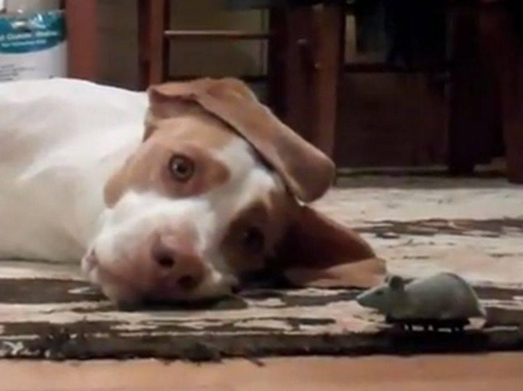 Hund und Maus: Maymos neues Lieblingsspielzeug?