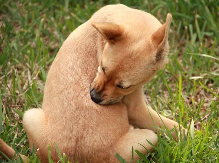 Mischlingshund kratzt sich auf der Wiese