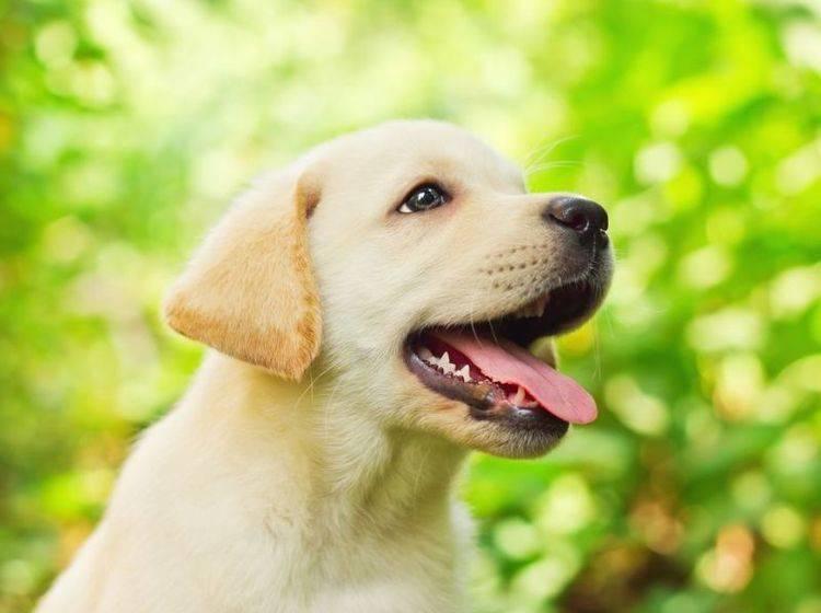 Golden Retriever Hund im Grünen