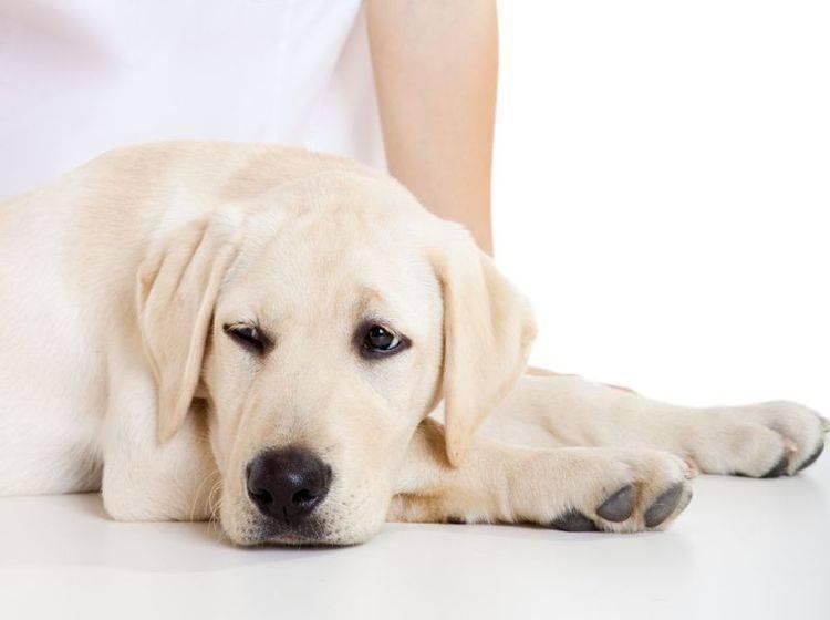 Golden Retriever Hund beim Tierarzt