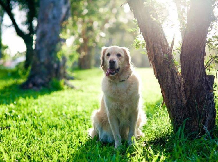 Golden Retriever Hund auf der Wiese