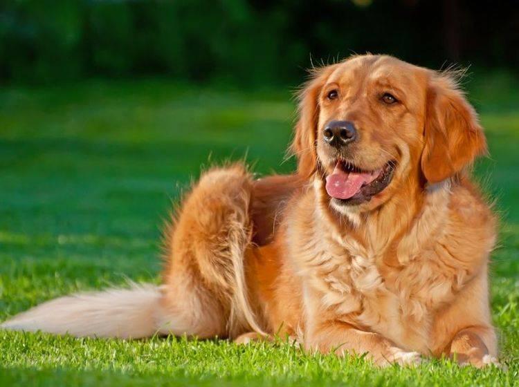 Retriever Hund auf der Wiese