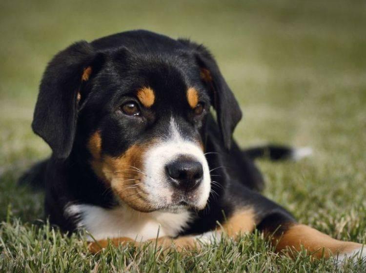 Junger Hund liegt auf der Wiese