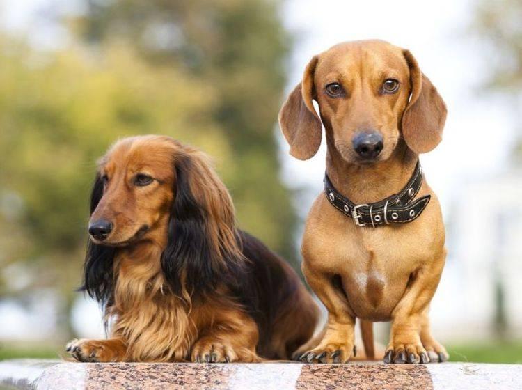 Dackel Royal: Hunde-Faible im Dänischen Königshaus