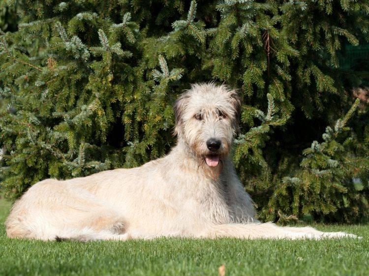 """Irischer Wolfshund als größter Hund zu Gast bei """"Die tierischen 10"""""""