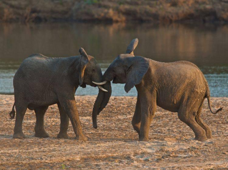 Elefanten in der Pubertät rangeln gerne miteinander