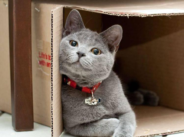 Britisch-Kurzhaar-Katze entspannt im Pappkarton.