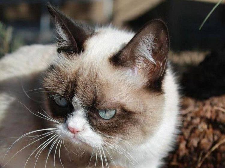Grumpy Cat Katze