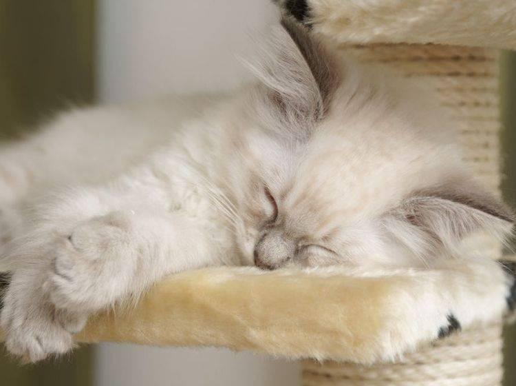 Ragdoll-Katzen werden weiß geboren, ihr Point-Muster entwickelt sich erst mit der Zeit