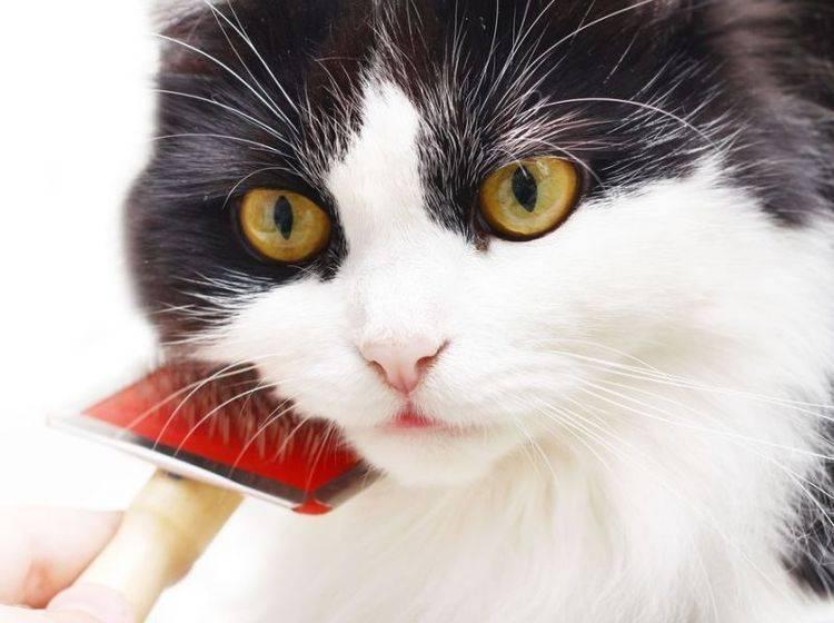Nicht für jede Katze ist Kämmen oder Bürsten eine Freude – Foto: Shutterstock / mariait