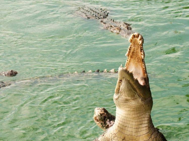 Krokodil im Wasser