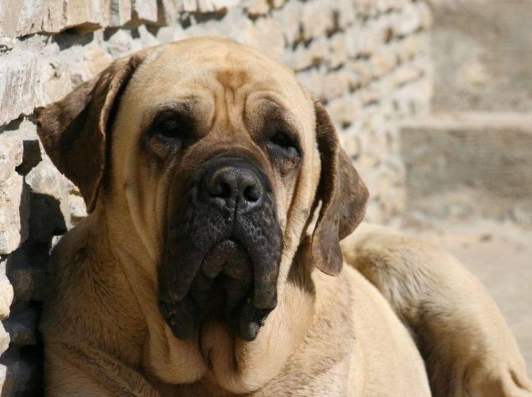 Mastiff: Der Gigant unter den Hunden wiegt ganze 113 Kilogramm