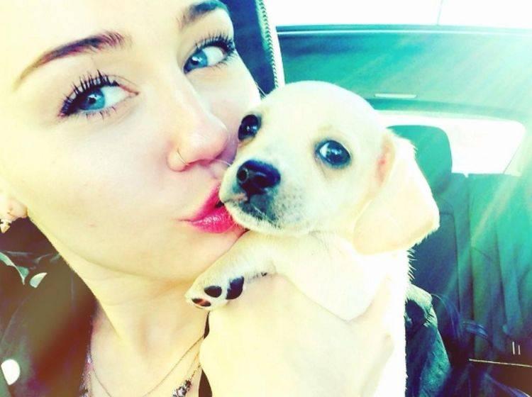"""Chihuahua-Mischling """"Bean"""" in den Armen von Miley Cyrus"""