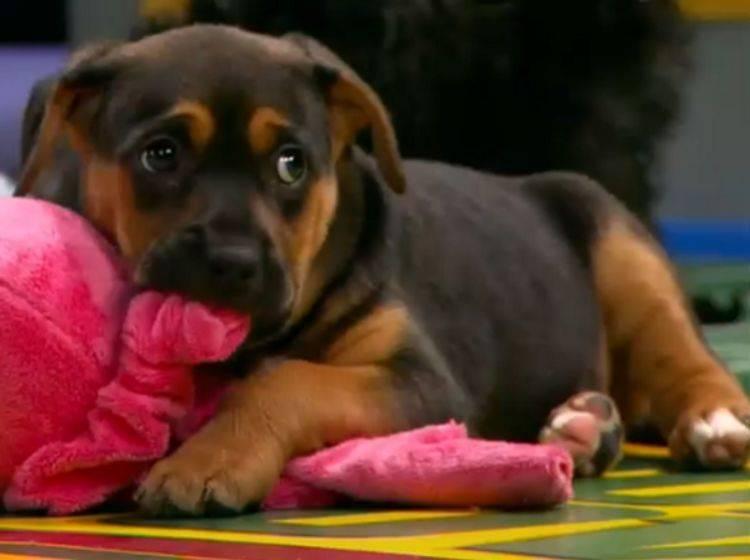 Puppy Bowl IX: Hunde spielen für ihre Artgenossen
