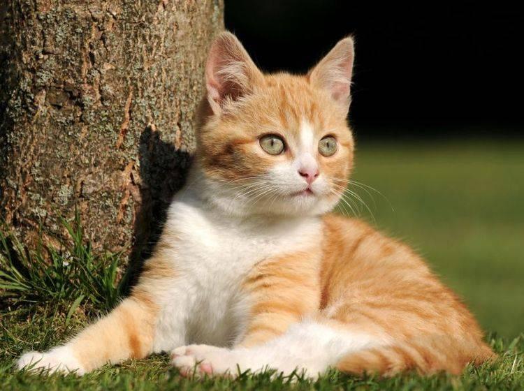 Rote-Katze-Baum-Ohren