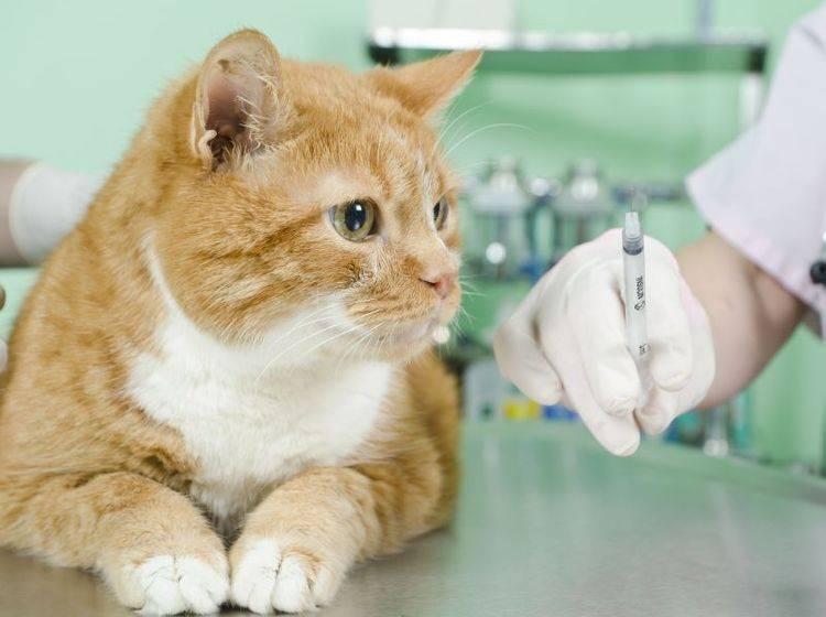 Rote Katze beim Tierarzt