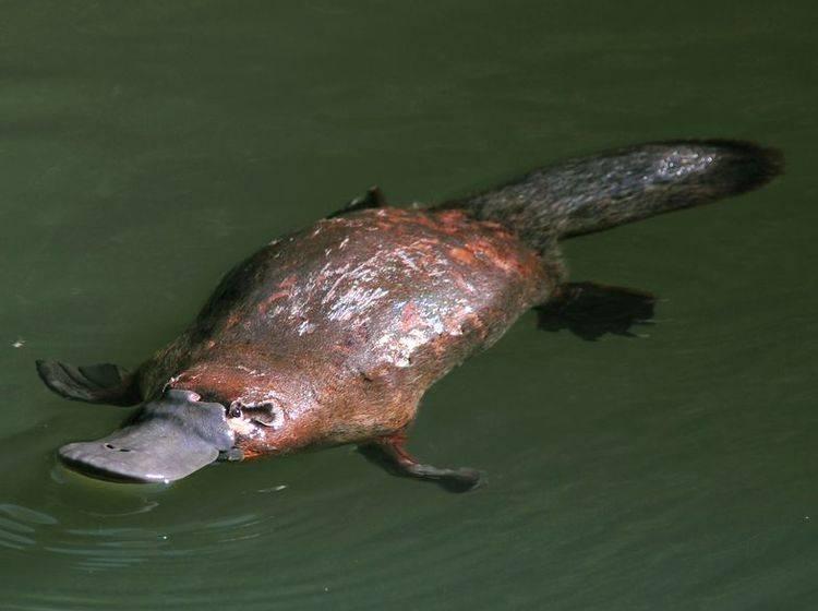 Schnabeltier im Wasser