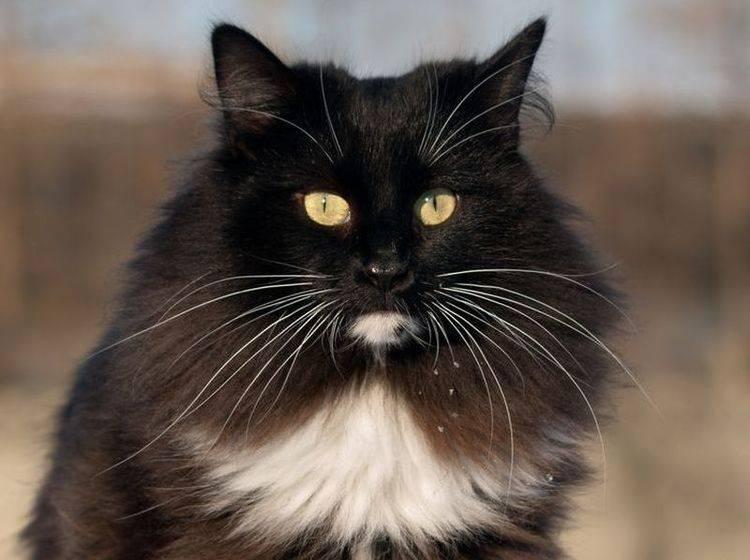 Schwarze Norwegische Waldkatze