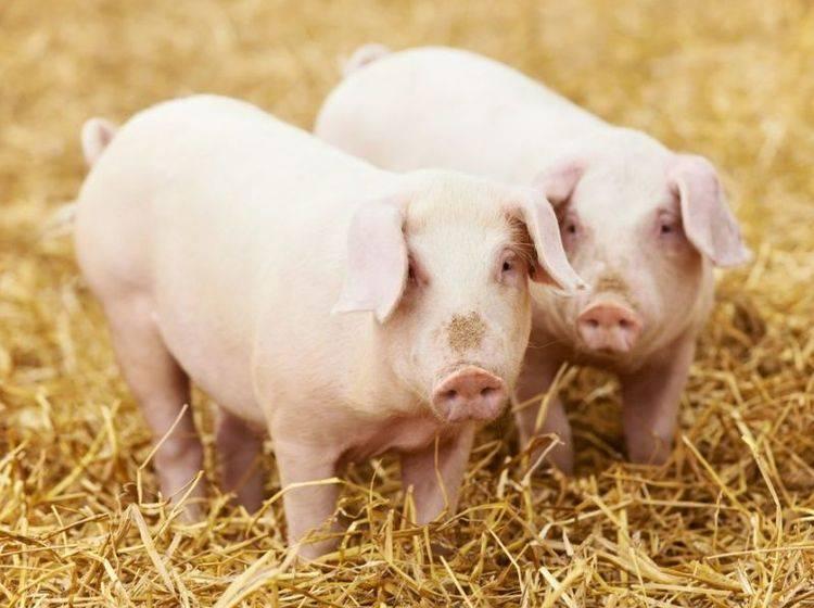 Zwei Schweine im Stroh