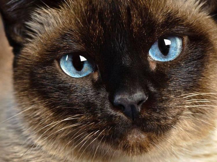 Platz 3: Elegante Siam Katze mit wunderschönen Augen