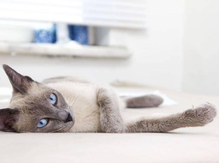 Siamkatze liegt auf Teppich