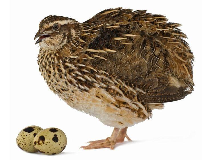 Wachtel-Eier: Gut getarnt auf passendem Untergrund