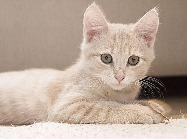 Junge Katze Teppich
