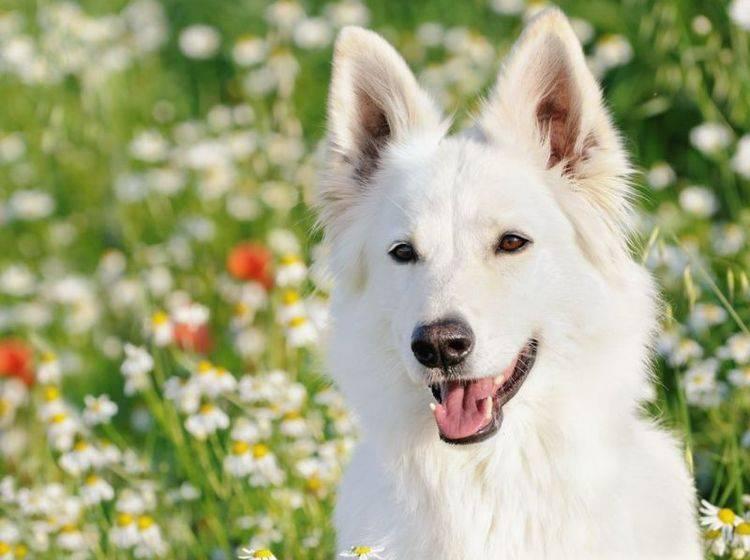 Dieser weiße Schäferhund freut sich, weil er seine Läuse loswerden konnte – Bild: Shutterstock / AnetaPics
