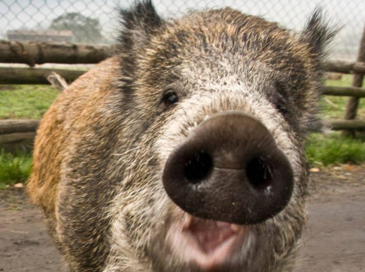 Dauerwelle vertreibt Wildschweine: Wie Friseure den Wald schützen