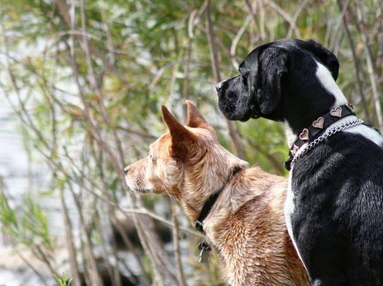 Zwei Hunde gucken