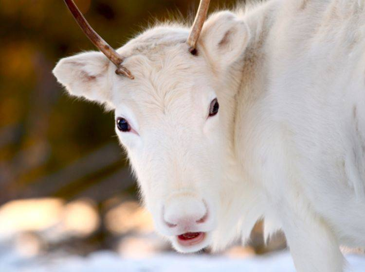 Rentier-Geheimnis gelüftet: Rudolphs rote Nase ist gut durchblutet