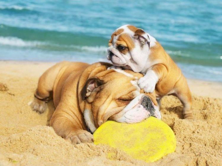 Papa und Sohn beim Spielen: Hunde im Urlaub