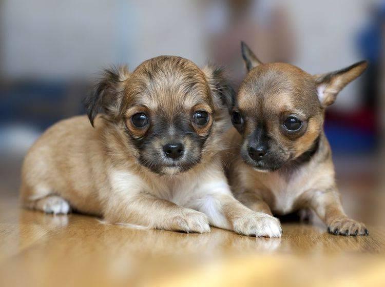 Chihuahua Welpen - Wichtig beim Hundekauf: Auf den Preis achten
