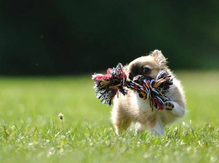 Chihuahuas sind Schoßhunde? Wohl ein Gerücht!