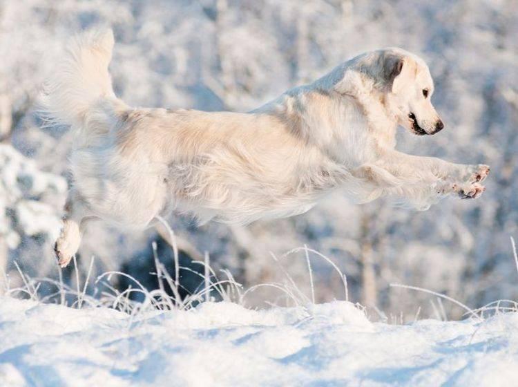 Schnee bietet eine perfekte Spielfläche für Hunde, wie dieser Golden Retriever beweist