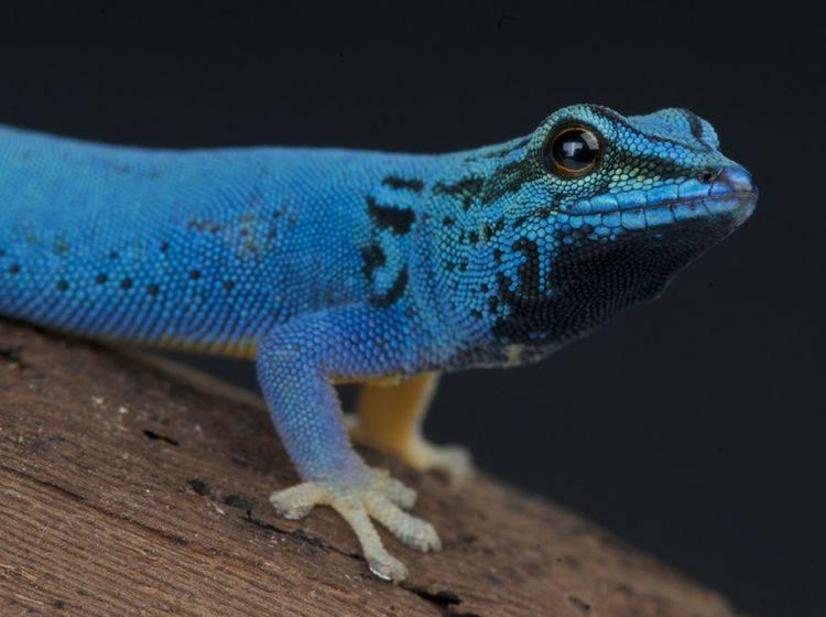 Zwerggecko: Das Reptil wird nur vier bis neun Zentimeter groß. Hier ein Himmelblauer-Zwergtaggecko