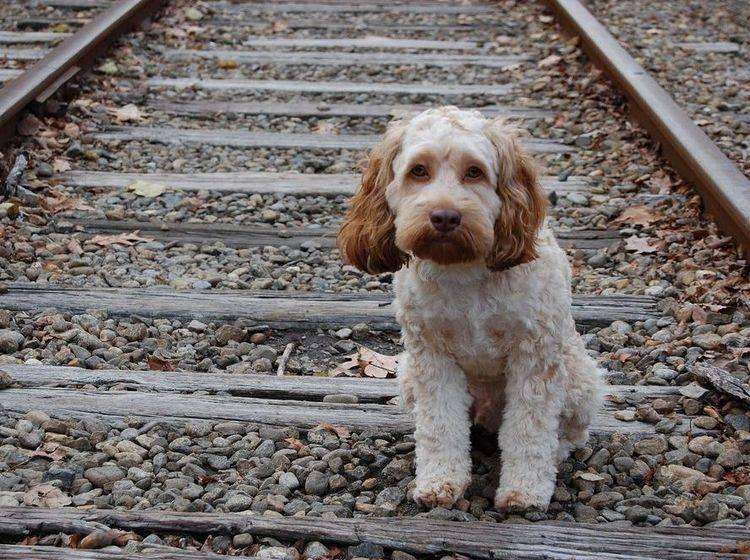 Hund-Mischling-Bahngleise
