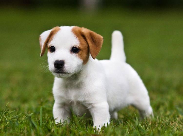 Jack-Russel-Terrier-Welpe auf der Wiese: Der Gesamteindruck sollte stimmen