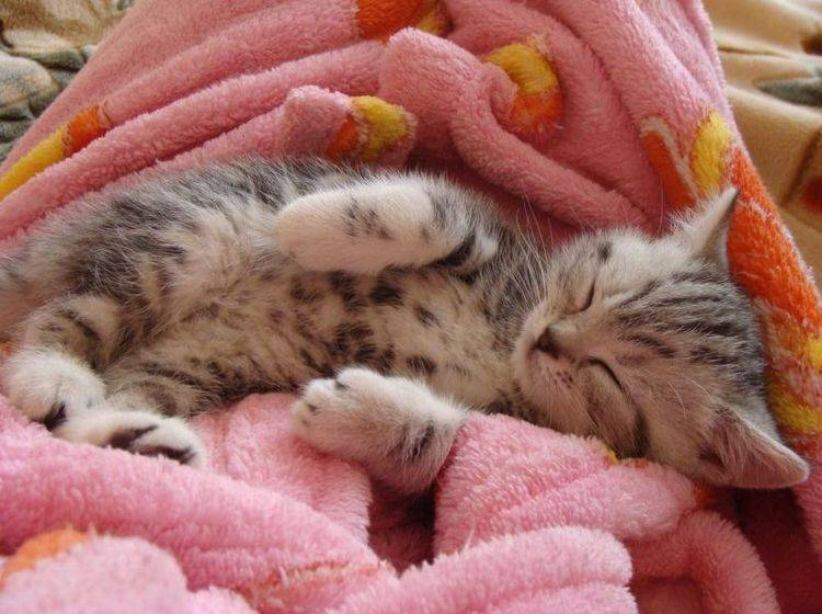 Kuschelalarm: Flauschiges Katzenbaby auf Schmusedecke