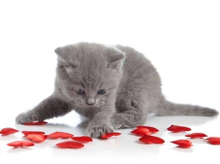 Katzenbaby-Grau-Spielt-Herzen