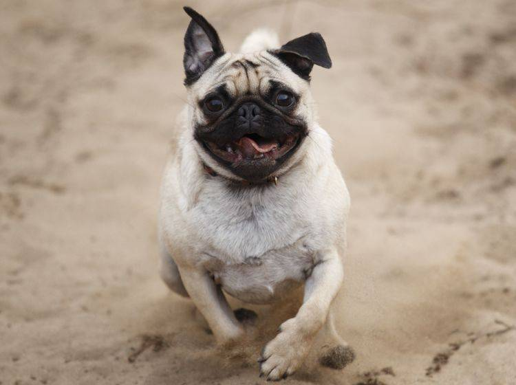 Mopsalarm: Diese Hunde können auch ganz schön rennen, wenn sie wollen!